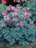Dicentra 'Candy Hearts' 450p