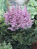 astilbe Heart and Soul 150p