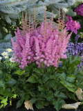 astilbe Little Vision in Pink 150p