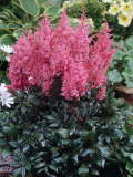 astilbe Lollypop 150p