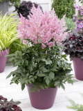astilbe New Wave 150p