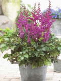 astilbe To have and to hold 150p